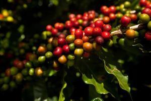 Plantage von Kaffeespezialitäten in Mato Grosso - Brasilien foto