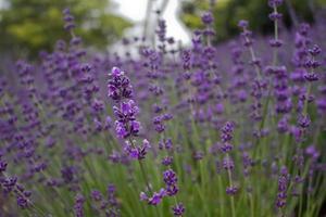lila Lavendel in voller Blüte