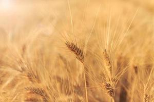 gelbes Weizenfeld