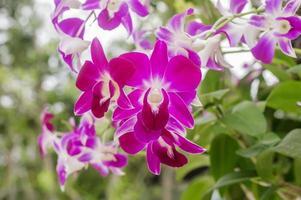 Nahaufnahme blühen lila Orchideenblume im Garten, Blatt an foto