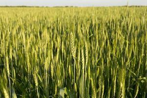 grüner Weizen bei Sonnenuntergang