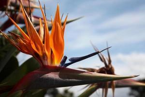Paradiesvogel Blume foto