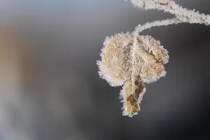 gefrostetes Espenblatt