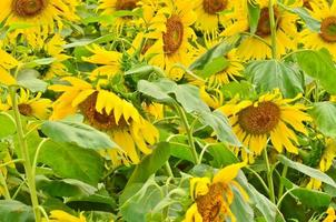 viele Sonnenblumen foto