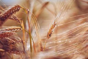 Weizenähren foto