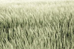 Nahaufnahme von reifem / trockenem Getreide