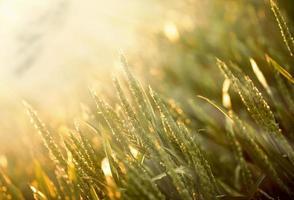 Weizenfeld von der Morgensonne beleuchtet foto