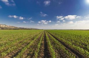 grüner Weizen feilte lue Himmel und Sonnenstrahlen