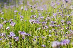landwirtschaftliches Feld von Phacelia Blumen foto
