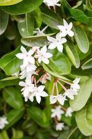 weiße Karonda Blume