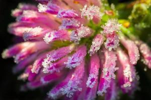 rosa Blume eines Klees ist mit Raureifmakro bedeckt foto