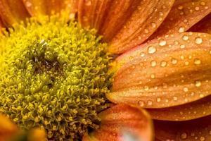 Tropfen auf orange Blume