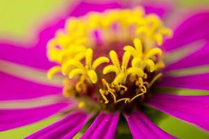 Zinnienblüten foto