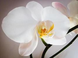 weisse Orchidee foto