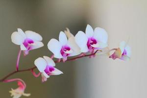 Thailand Orchidee foto