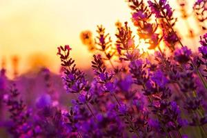 Lavendelfeld in Tihany, Ungarn