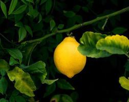 reife Zitrone hängt an einem Baum foto