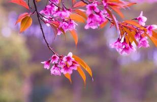 rosa Sakura-Blüten foto