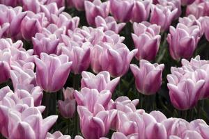 Tulpen in den Niederlanden