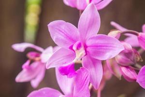 Spathoglottis plicata lila Orchideen foto