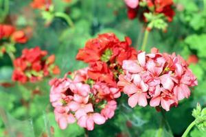 schöne rote Blume foto