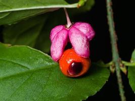 euonymus verrucosus, Spindelbaum, reifes Fruchtmakro, selektiver Fokus foto