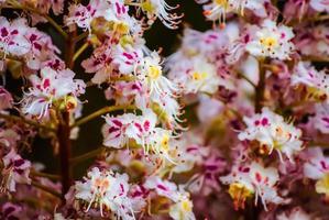 blühender Kastanienbaum im Frühjahr, Nahaufnahme