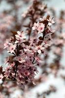 der blühende Pflaumenbaum
