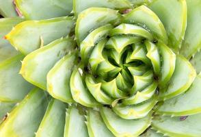 Aloe Polyphilla - Spiralaloe