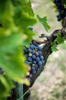 Rotweintrauben am alten Weinstock