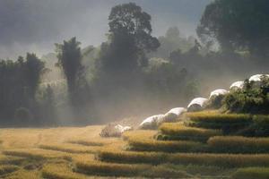 Morgennebel auf gelbem terrassiertem Reisfeld