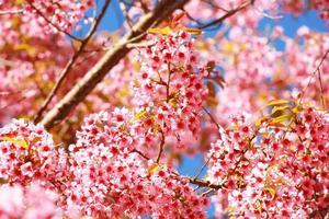 Thai Sakura Blume Chiang Mai Thailand