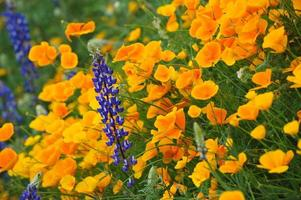Kalifornische Mohnblumen und Lupinen