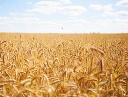 gelbes Spike-Detail des Weizenfeldes im Freien