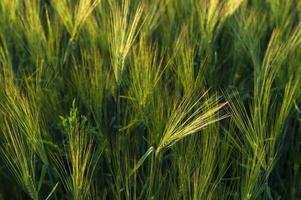 Gerstenfeld in der warmen Abendsonne
