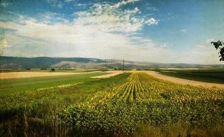 Foto des blühenden Sonnenblumenfeldes