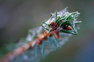 Tannenzweig mit einem Spinnennetz bedeckt foto