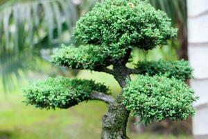 schöne Bonsai im Park foto