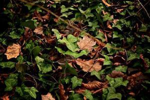 Efeu zwischen anderen Blättern
