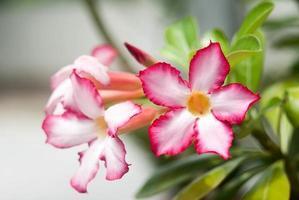 Impala Lilie Blumen blühen