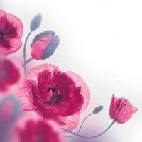 rotes Mohnfeld und blaue Kornblumen