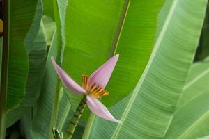 rosa Bananenblume auf Bananenbaum