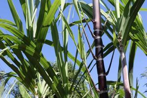 Nahaufnahme von Zuckerrohrpflanzen