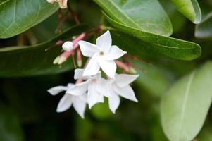 weiße Karonda-Blume im Garten