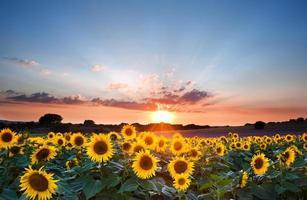 schöne Sonnenblumen während eines Sommersonnenuntergangs mit blauem Himmel foto