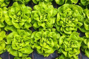 industrielles Wachstum von Salat in einem Gewächshaus foto