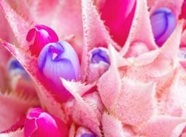 rosa Bromelienblume