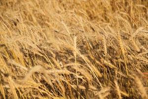 Getreidefeld foto