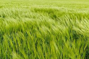 grüner Weizen foto