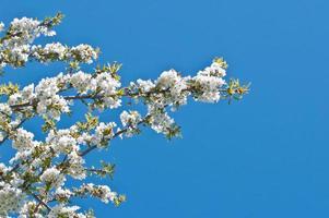 Blüte von Kirschbaum foto